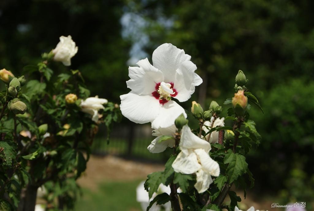 무궁화꽃 순정