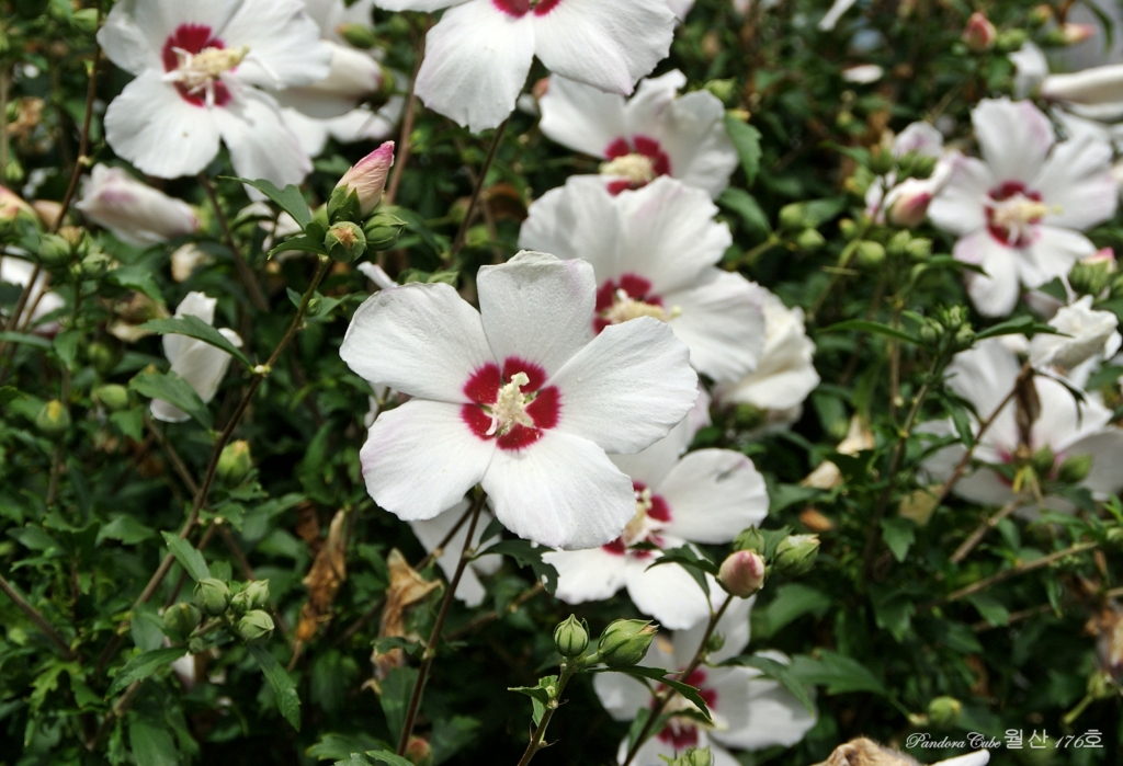 무궁화꽃 월산